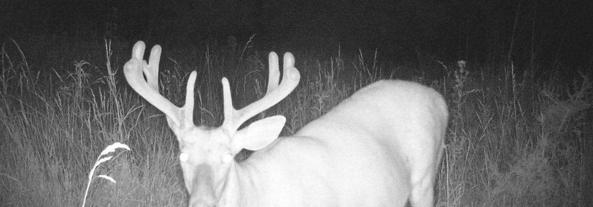 Summer Deer Management with Trail Cameras |Running a Trail Camera Surveys